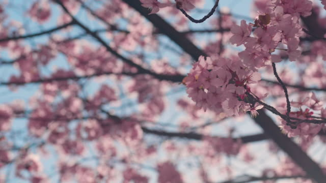 cherry blossom tree with blue sky - bud stock videos & royalty-free footage