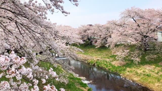 cherry blossom trees along the river in sunny day.nature and landscape concept - cherry blossom stock videos & royalty-free footage