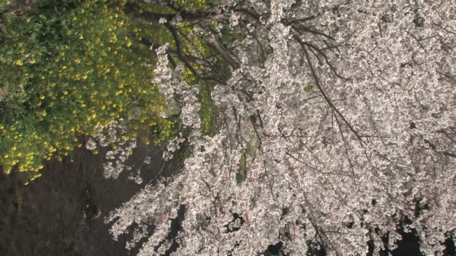cherry blossom trees and rapeseed flowers by river - 福岡県点の映像素材/bロール