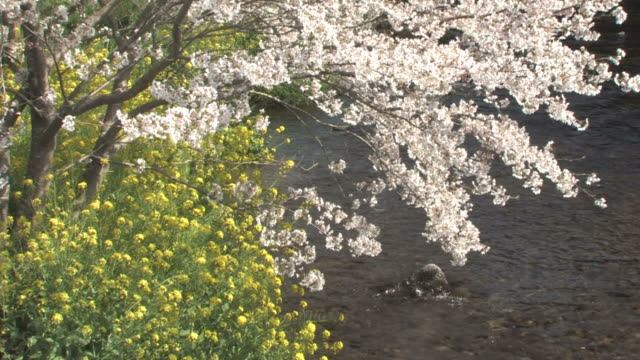 vídeos de stock, filmes e b-roll de cherry blossom trees and rapeseed flowers by river - prefeitura de fukuoka