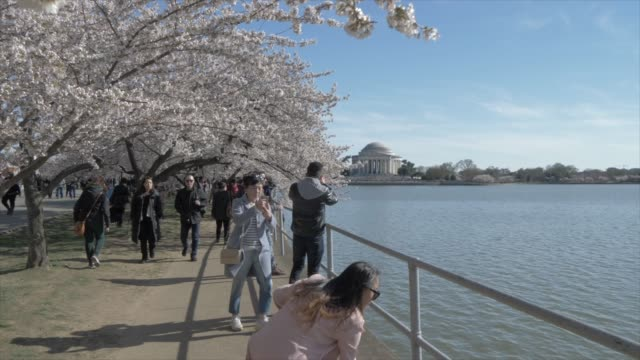 cherry blossom trees and thomas jefferson memorial, washington dc, united states of america, north america - 各国の観光地点の映像素材/bロール