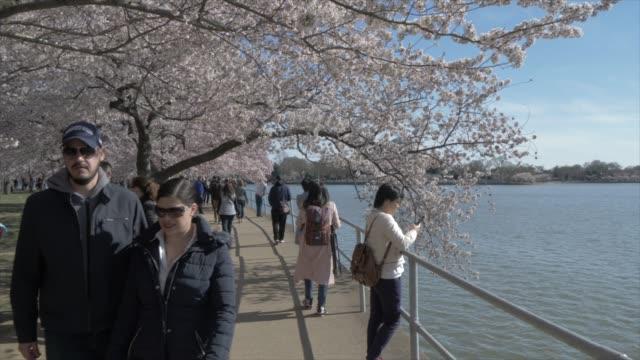 cherry blossom trees and thomas jefferson memorial, washington dc, united states of america, north america - meraviglie della natura video stock e b–roll