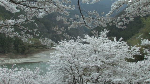 cherry blossom trees by river - 福岡県点の映像素材/bロール