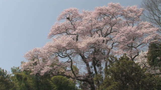 cherry blossom trees - fukuoka prefecture stock videos & royalty-free footage