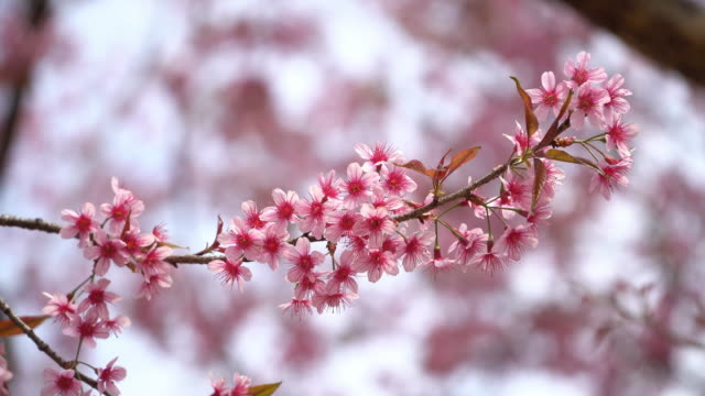 vídeos de stock, filmes e b-roll de flor de cerejeira - árvore de folha caduca