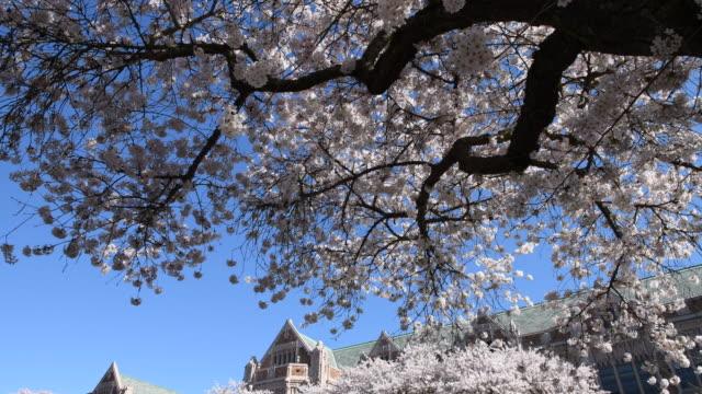 vídeos de stock e filmes b-roll de cherry blossom - universidade de washington