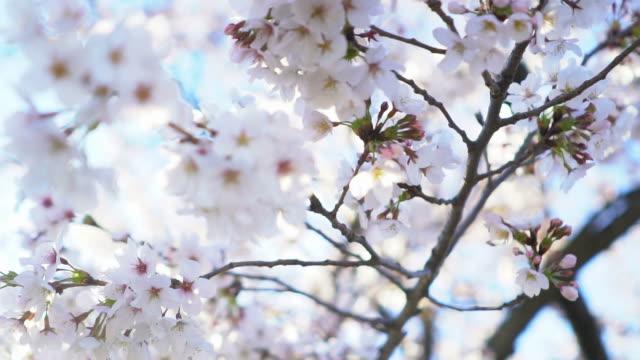 桜 - 桜の花点の映像素材/bロール