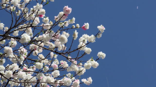 stockvideo's en b-roll-footage met cherry blossom - bloemblaadje
