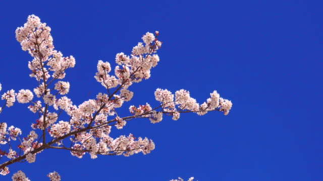 cherry blossom - branch stock videos & royalty-free footage
