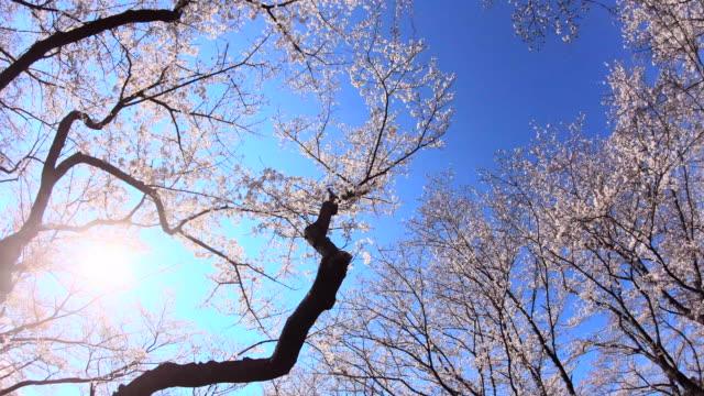 cherry blossom - plusphoto stock videos & royalty-free footage