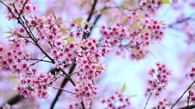 vídeos de stock, filmes e b-roll de cherry blossom - movimento perpétuo