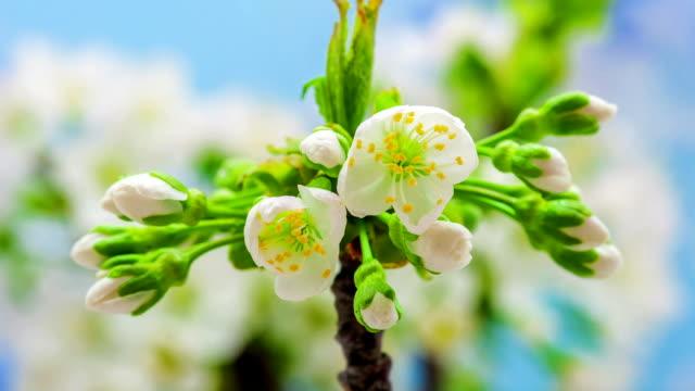 vídeos y material grabado en eventos de stock de flor de cerezo - flower head