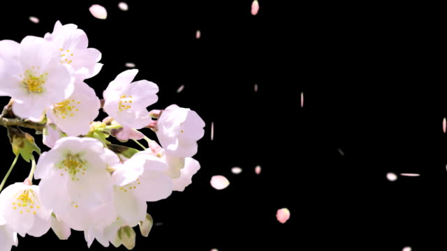 cherry blossom - blütenblatt stock-videos und b-roll-filmmaterial