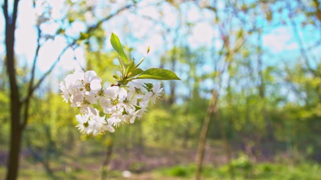SLO MO Cherry blossom