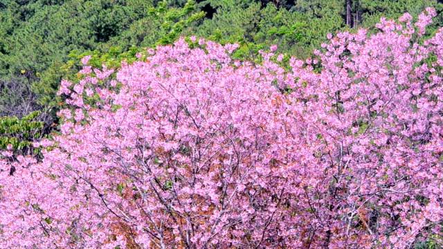vídeos de stock e filmes b-roll de flor de cerejeira - prunus taihaku