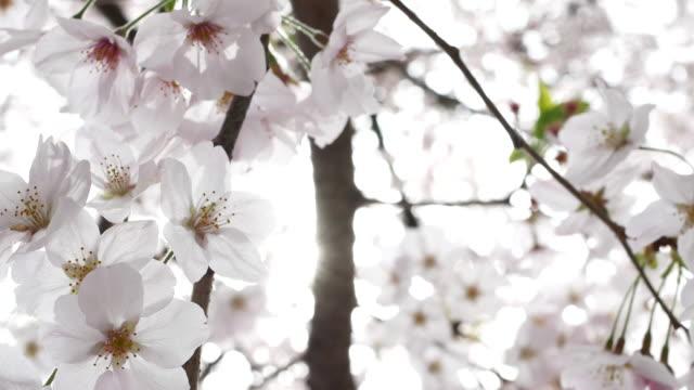 cherry blossom - cherry tree stock videos & royalty-free footage