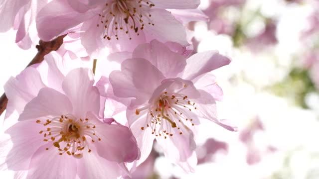 cherry blossom  - frühling stock-videos und b-roll-filmmaterial