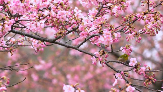 cherry blossom - hamamatsu stock videos and b-roll footage
