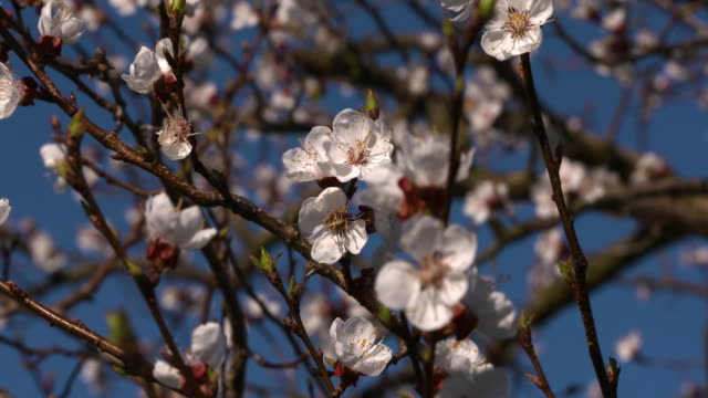 Cherry Blossom - Wachau/Austria (4K)