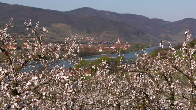 cherry blossom - wachau/austria (4k) - fruit tree stock videos & royalty-free footage