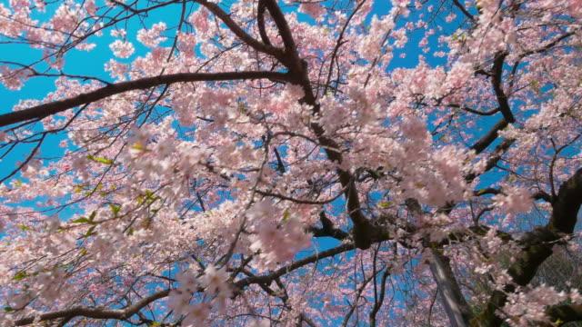 Cherry blossom walking motion shot  from Koishikawa kourakuen