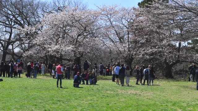 cherry blossom watch is typical of the canadian city one third of the municipal park remains in a natural state with a rare oak savannah ecology high... - time of day stock videos and b-roll footage