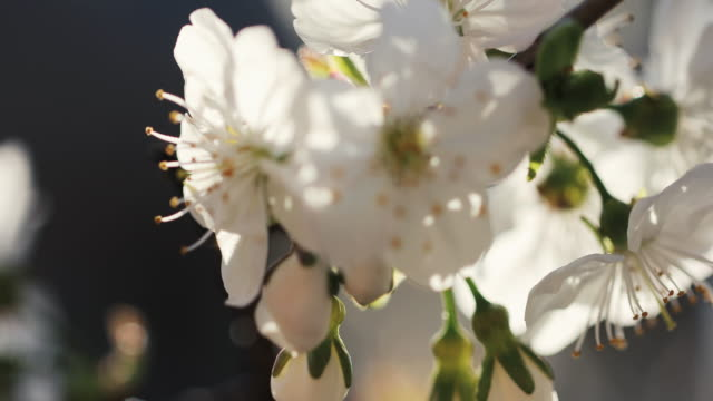 vídeos de stock, filmes e b-roll de flor de cereja branca - árvore de folha caduca