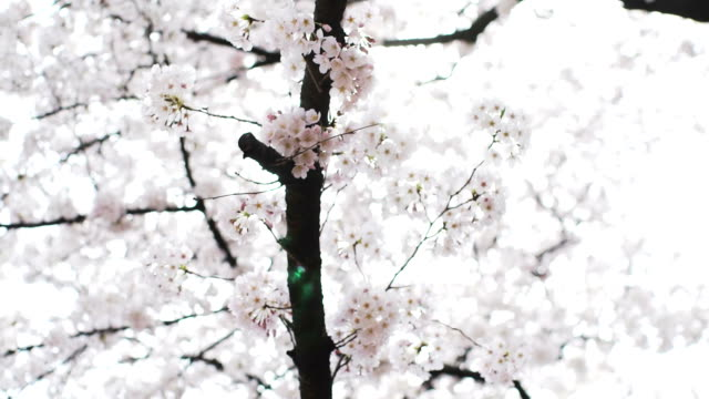 cherry blossom white - earth goddess stock videos & royalty-free footage