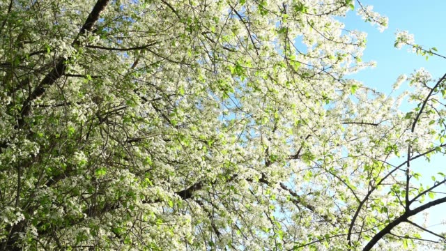 cherry blossomed in spring - 40 seconds or greater stock videos & royalty-free footage
