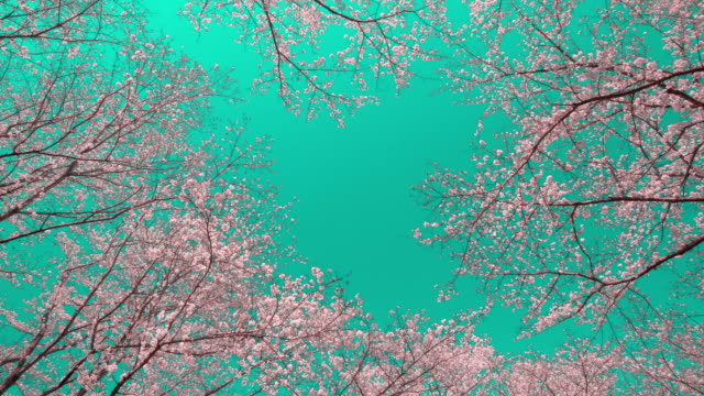 cherry blossoms against clear blue sky - satoyama scenery stock videos & royalty-free footage
