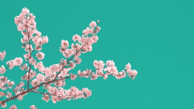 澄んだ青空に対する桜 - 季節点の映像素材/bロール