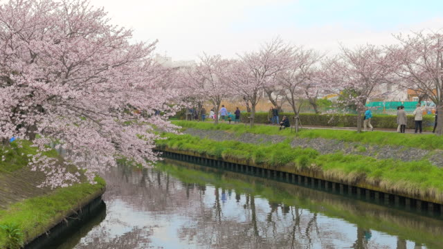 cherry blossoms along ebi river in chiba, japan - kanto region stock videos and b-roll footage