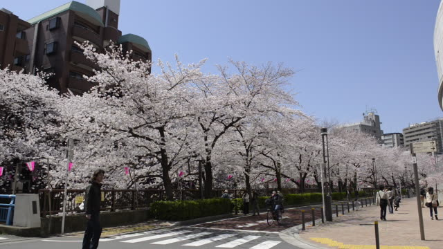 Cherry blossoms along Meguro River in Tokyo, Japan