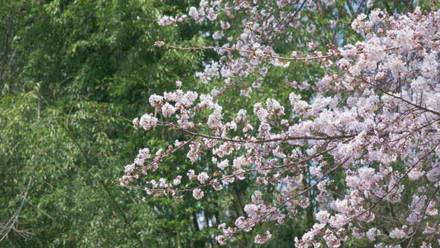 cherry blossoms and a bamboo grove getting sunlight - bamboo plant stock videos & royalty-free footage