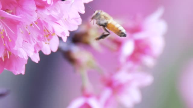 Cherry blossoms and bees in the spring