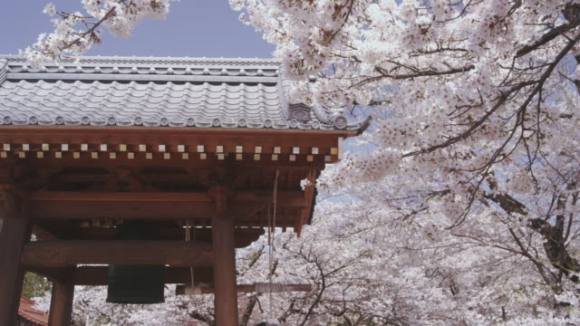 cherry blossoms and big bell at temple - ベル点の映像素材/bロール