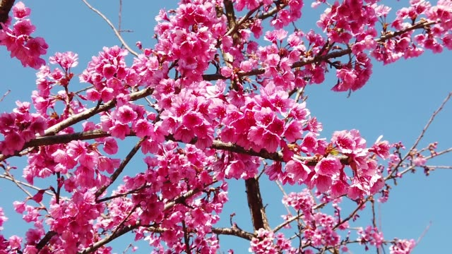 cherry blossoms and blue sky , nature footage background - fruit tree stock videos & royalty-free footage
