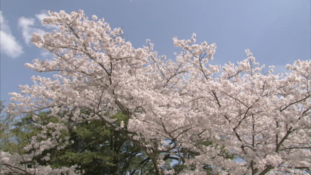 ms td ws cherry blossoms and buddhist temple / yamanashi prefecture, japan - fragility stock videos & royalty-free footage