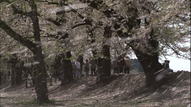 cherry blossoms and falling cherry blossom petals in kakunodate, akita - pedestrian walkway stock videos & royalty-free footage