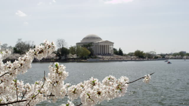 cherry blossoms and jefferson monument in washington dc. - jeffersondenkmal stock-videos und b-roll-filmmaterial
