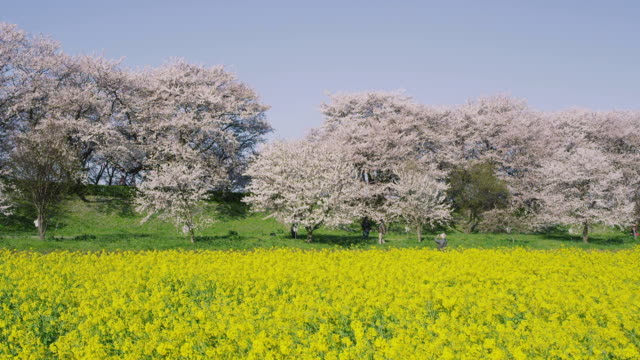 cherry blossoms and mustard flower - saitama prefecture stock videos & royalty-free footage