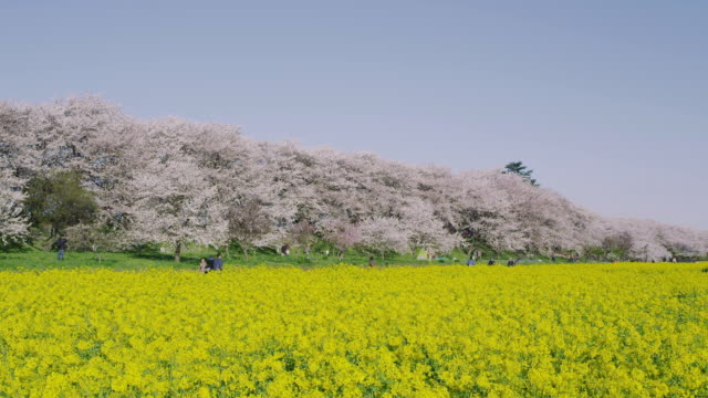 Cherry blossoms and mustard flower