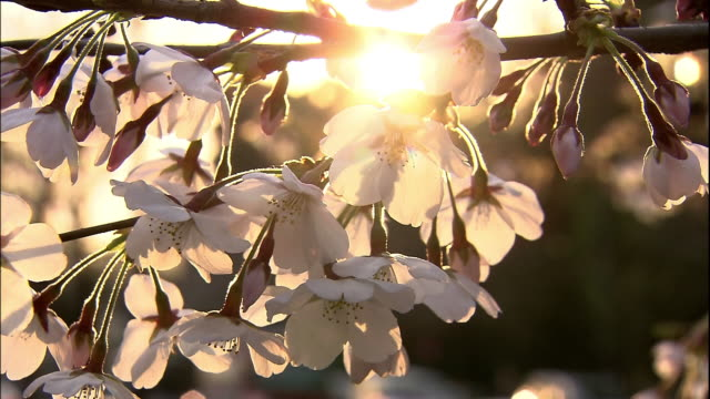 cherry blossoms and  sumida river - shitamachi stock videos and b-roll footage