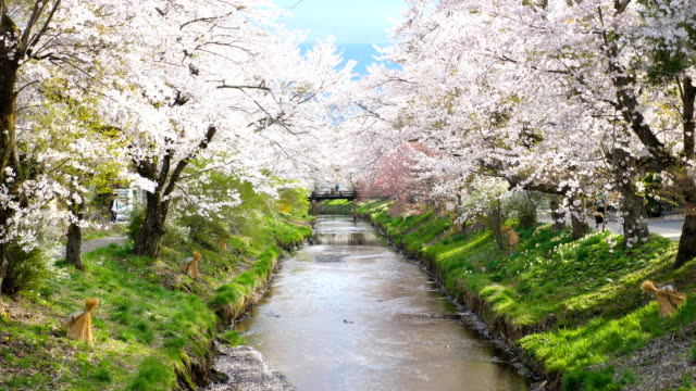 cherry blossoms and tranquil river at oshino hakkai, slow motion shot - le quattro stagioni video stock e b–roll