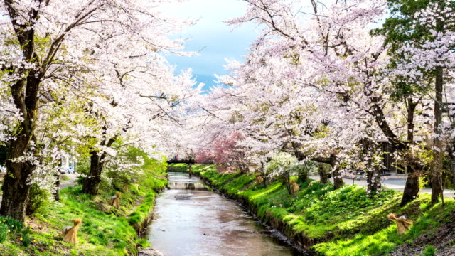 t/l zo cherry blossoms and tranquil river at oshino hakkai - oriental garden stock videos and b-roll footage