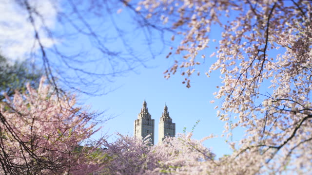 cherry blossoms are illuminated by soft spring sunlight, and shake by wind at front of the san remo at central park new york city ny usa on apr. 16 2019. - remo stock videos and b-roll footage