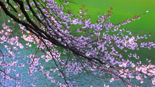 Cherry blossoms are shaking over the moat, which are illuminated by evening sun at Chidorigafuchi Moat. Cherry petals are fluttering around.