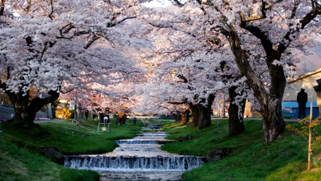 Cherry blossoms at kawageta Fukushima Japan