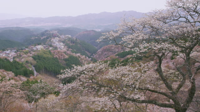 cherry blossoms at mt. yoshino - nara prefecture stock videos and b-roll footage