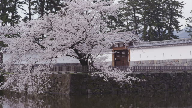 Cherry blossoms at Odawara Castle in Japan